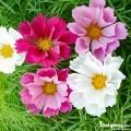 Hạt giống hoa Sao nháy