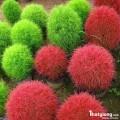 Hạt giống cỏ cảnh
