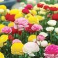 Hạt giống hoa Viola