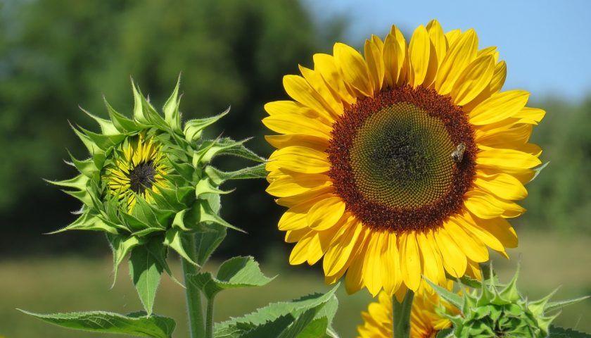 Zolte Kwiaty Polne Lakowe I Nie Tylko W Naszym Ogrodzie